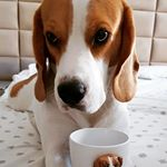 Morning mood #buddy #beagle #mug #gift #babs #morning