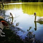 Saturday evening #beagle #park #lake #swan #hunter #summer #beaglefather #beagledad